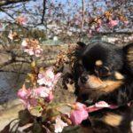 河津桜と豆ちゃん