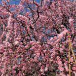 岡崎天満宮の梅